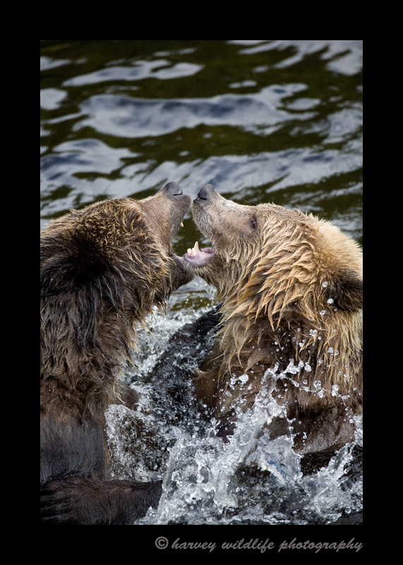 These young male grizzlies practice fighting in the shallow water at Knight Inlet.