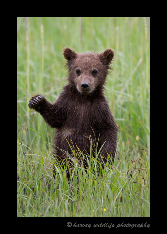 hi_five_bear_cub