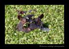 hippopotamus_IMG_0374