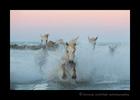 horses-in-sea
