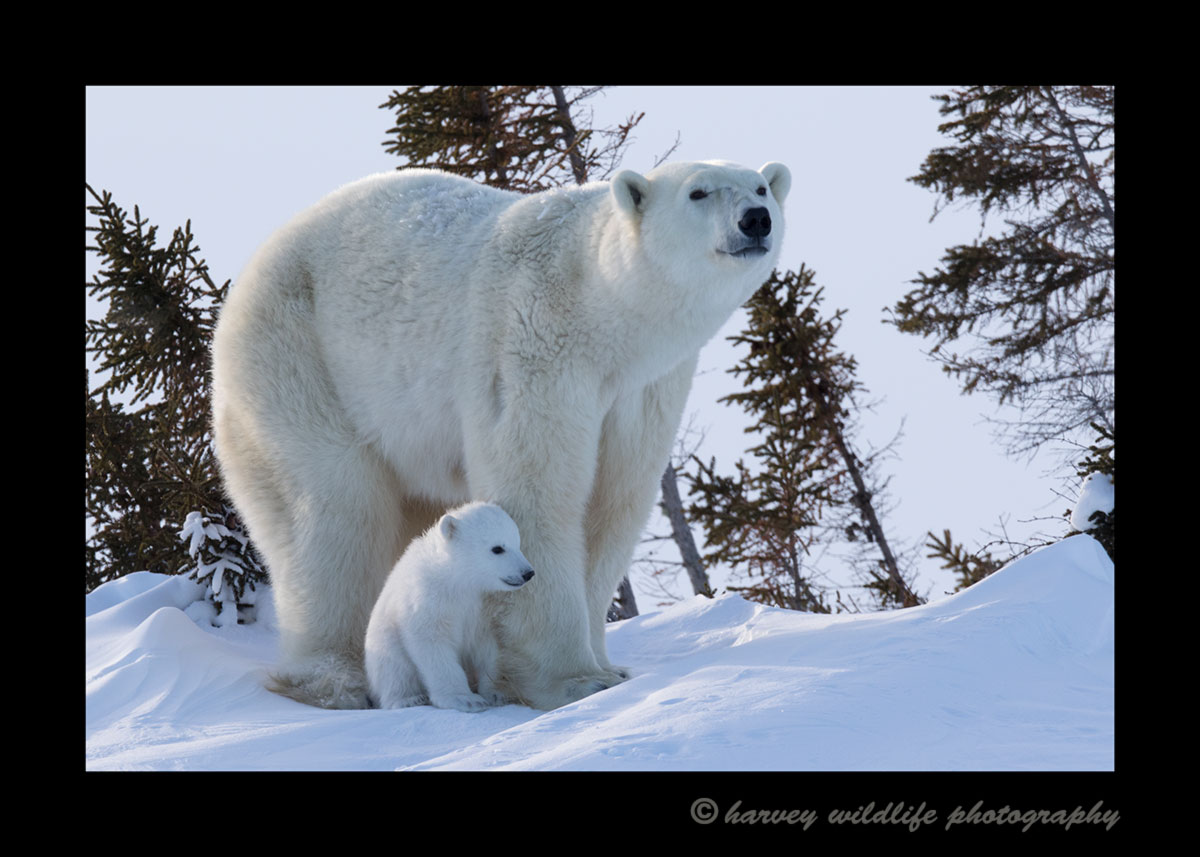 Ice bear and cub in Wapusk National Park.