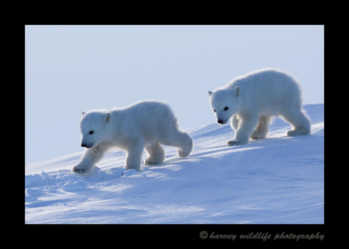 Polar bear cubs walking in Wapusk National Park.