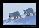 Polar bear cubs walking in Wapusk National Park.