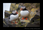 Icleandic Puffin Couple
