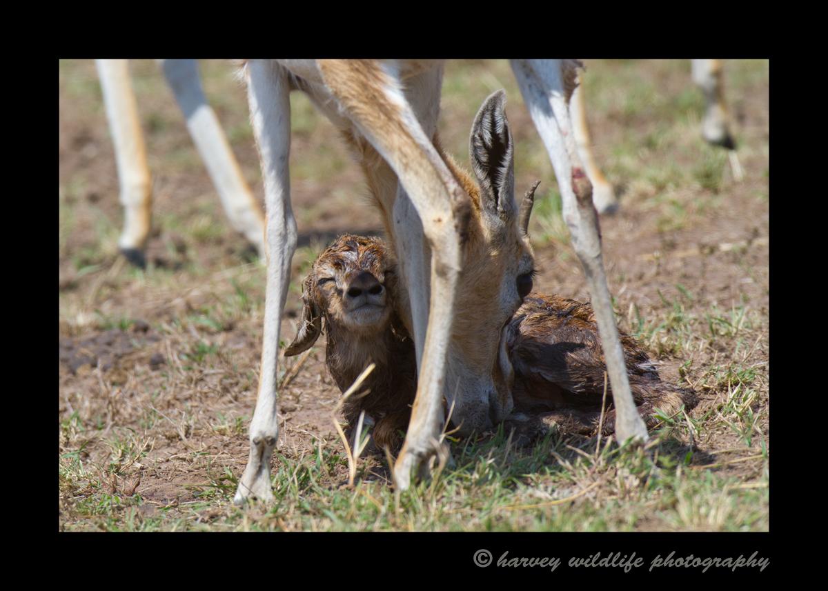 impala_new_born