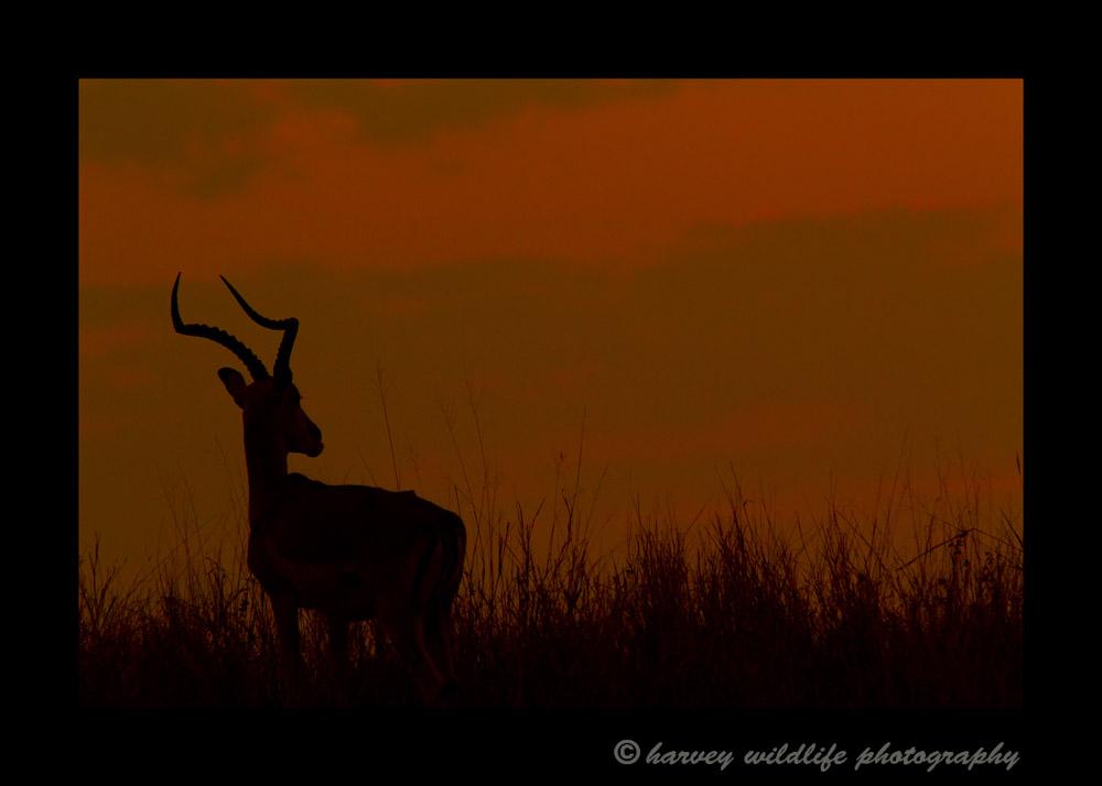 impala_sunset_2