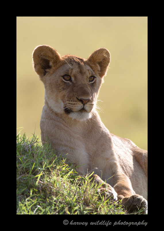 This was our first morning in the Masai Mara, photographing the Marsh pride. The BBC was also filming them at the same time, so it was a very memorable day in the Mara.