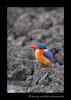 kingfisher_masai_mara