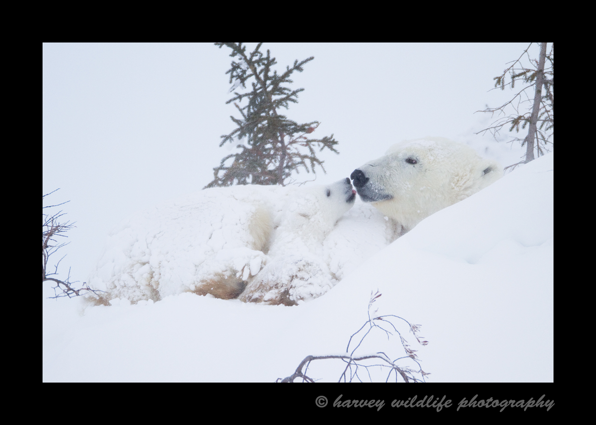 This baby and mom slept most of the afteroon while the snow drifted over them. Finally, after waiting several hours they woke up briefly just long enough for baby and mom to share a little kiss, then they went back to sleep.