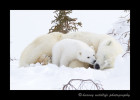 Picture of a polar bear cub kissing his mother.
