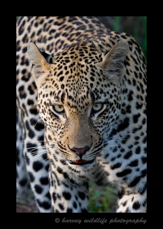 This leopard is a large male who at the time this picture was taken was still with his mommy. When he went on his own, due to his size, he would own a large territory.
