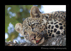 Four month old leopard cub picture