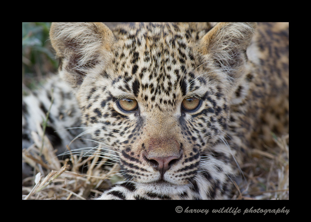 <b>Four Month Old Leopard Cub</b>Kikilezi female's four month old son. August, 2012
