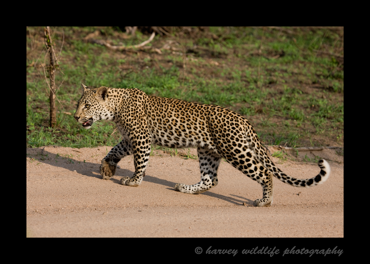 Female leopard in South Africa.