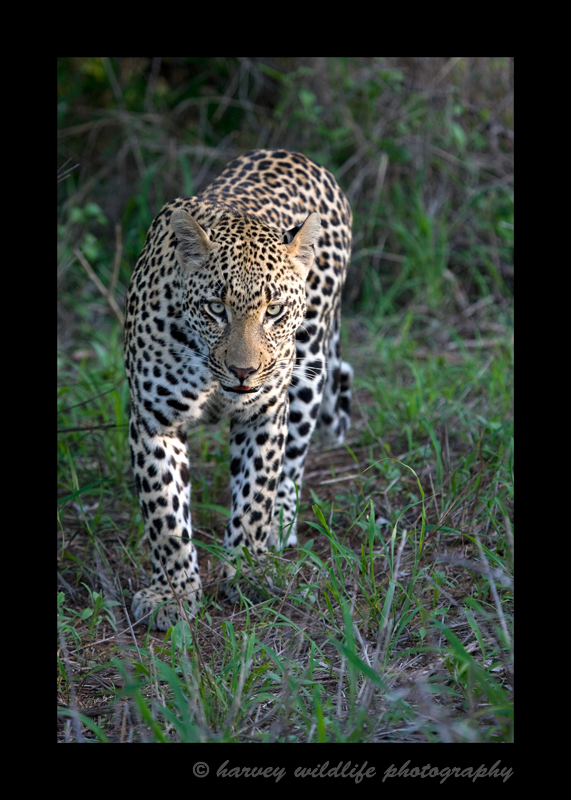 This huge male leopard is actually just a young guy and is still with his mommy. When he is on his own, he will be big and strong enough to have a large territory. Only the biggest leopards will have the nerve to challenge him.