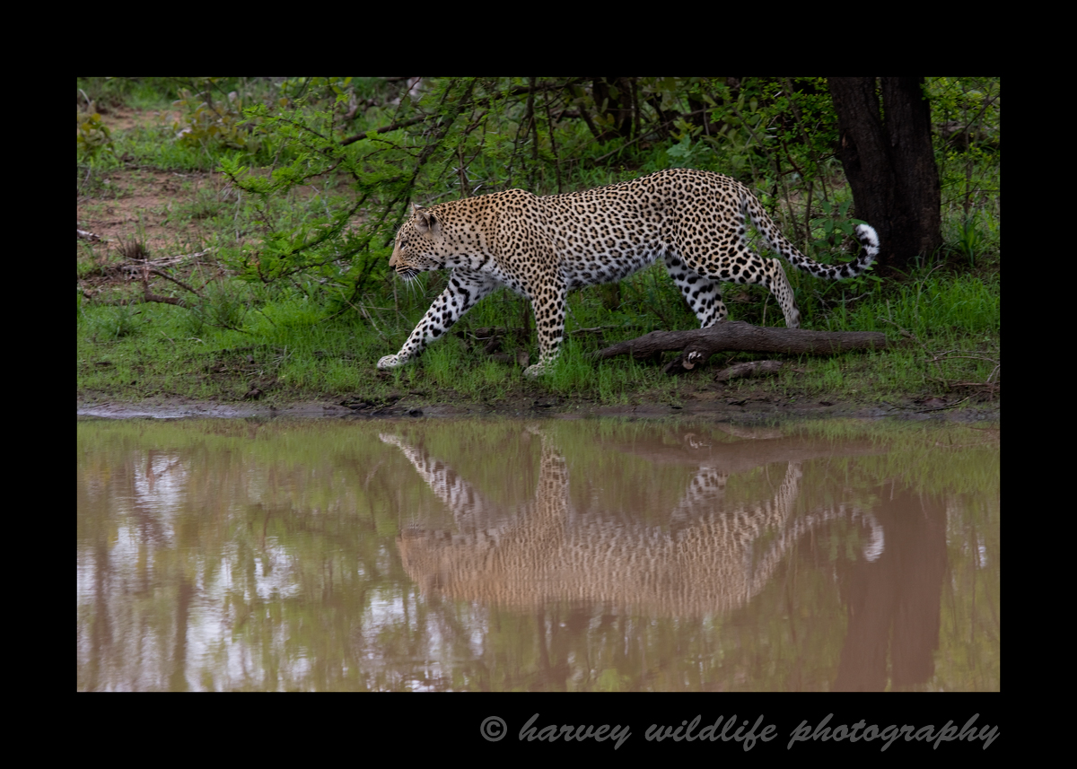 This big male leopard walks by a pond in South Africa.