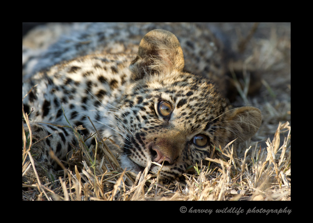Picture of a four month old leopard cub resting in the grass.