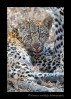 leopard_cub_and_mom