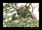 leopard_in_tree