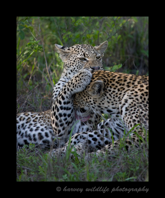 This photograph is of a mother and cub leopard living wild in South Africa. Mom insists that it is bath time, so much to her son's dismay, she grabbed his head and groomed him.