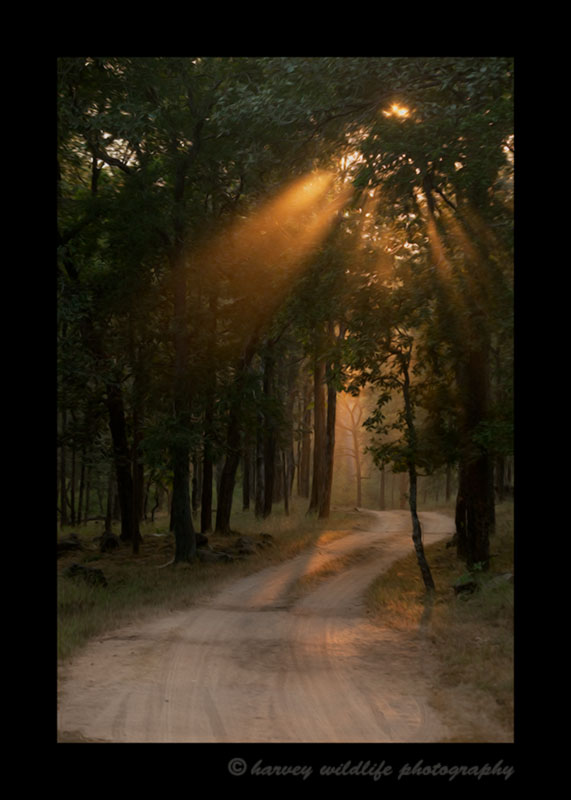 Sun rays through trees on a road in Bandhavgarh National Park, India. This picture was edited to resemble an oil painting.