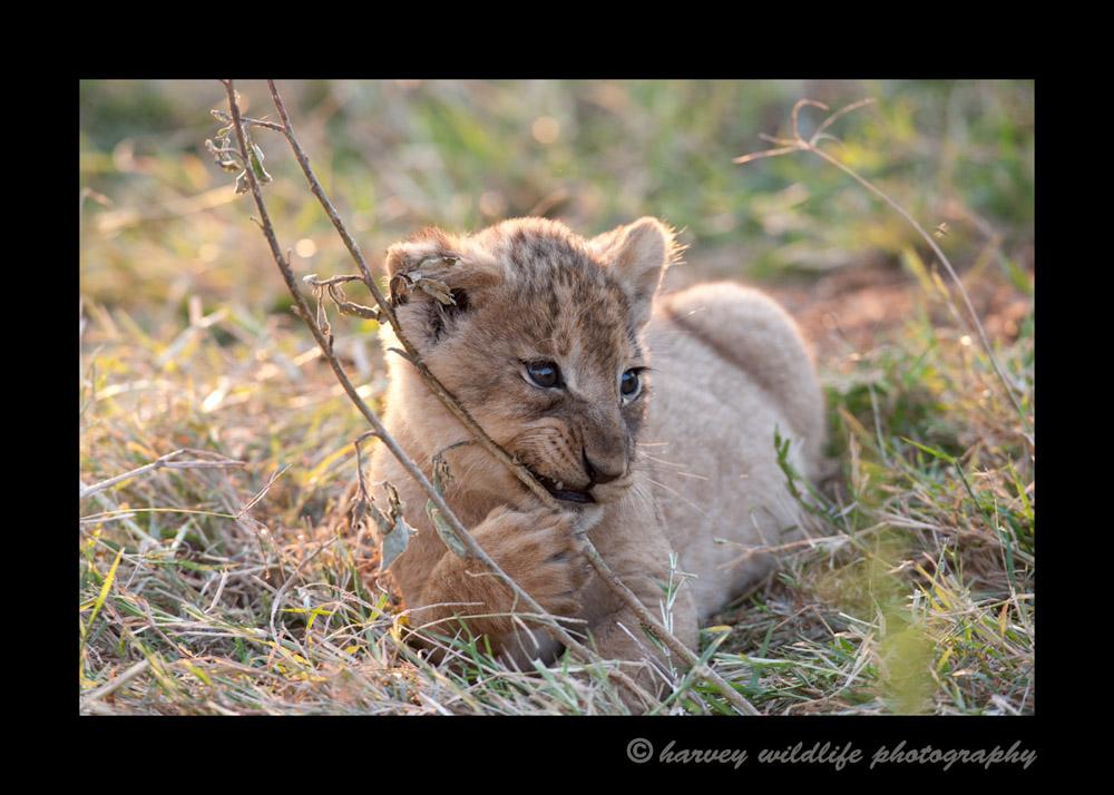lion-cub-1