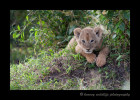 Male and female lion cubs look quite similar at this age, but it is amazing how differently they can act. We believe this is a female lion cub. She was just more dainty, less of a fighter and had pretty eyes.