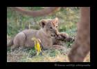 lion-cub-3S2Y8802
