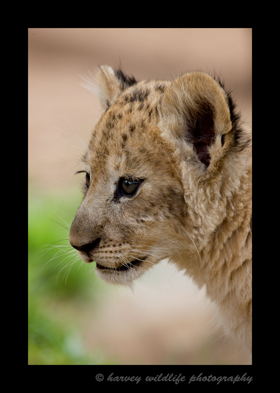 Lion cub portrait from South Africa.