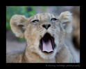 Picture of a lion cub yawning