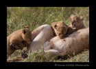 lion-cubs-nursing