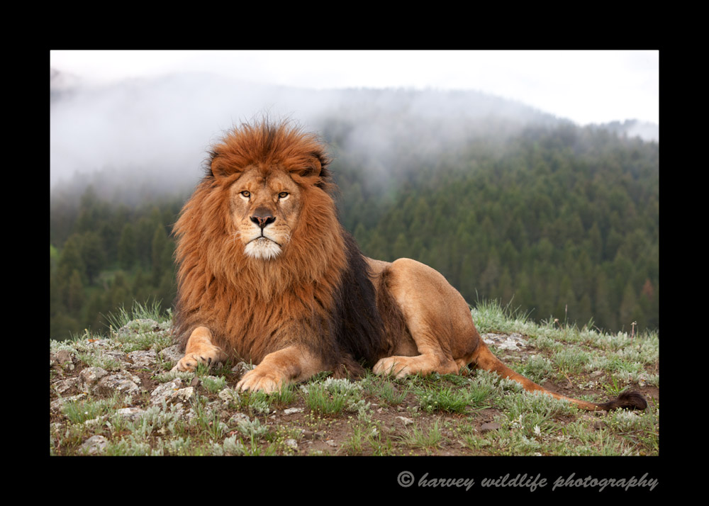 Moufassa is a captive Barbary lion living in Montana.