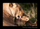 lion-mom-and-cub-3