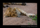 Lions tend to nap where ever they feel like it. In this case they were lying all over the middle of the road in the afternoon.