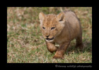 lion_IMG_9926