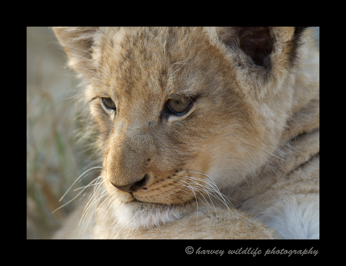 This lion cub looks like he is contemplating life.
