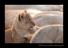 lion_cub3S2Y8743