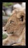 lion_cub_profile_19x36
