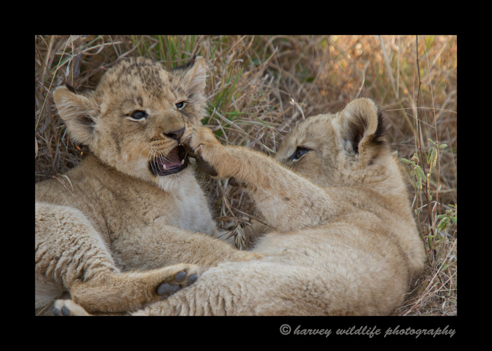 lion_cubs_playingIMG_2251