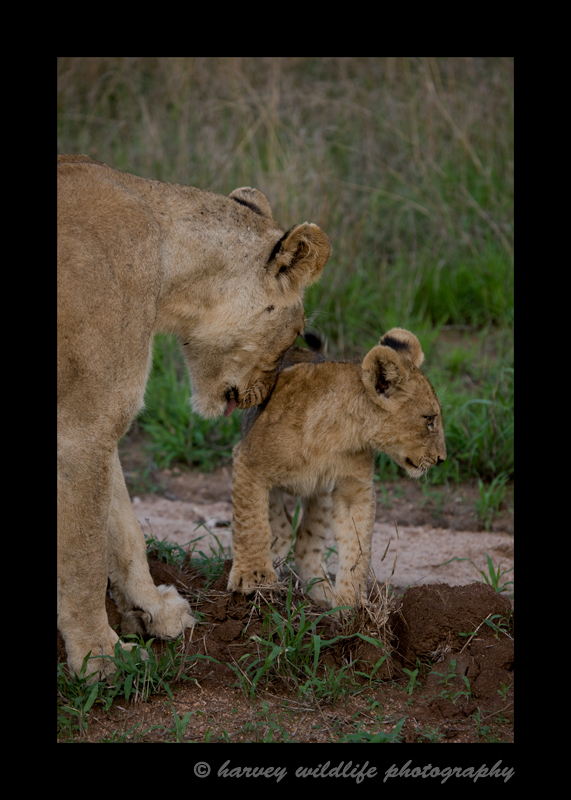 A little affection from mom just before her and the other adult lionesses go on a night hunt.