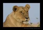lioness_Masai_Mara