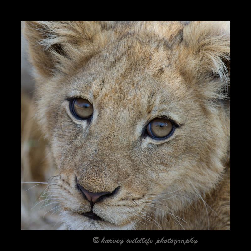 lioneyes