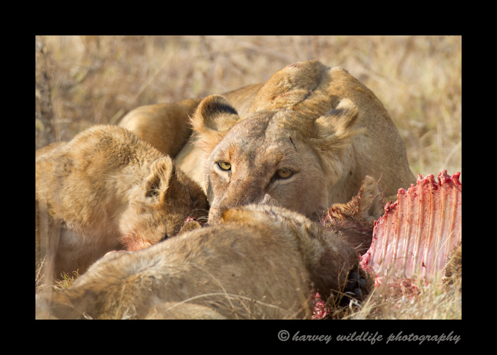 This lioness and two cubs are enjoying a zebra. A picture doesn't really do this scene justice as there is a lot of growling and fighting when lions eat. It reminds me of humans eating ribs, except that the sauce all over their faces isn't barbeque sauce. :)