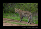 We saw this male leopard strutting his stuff on a safari road in Mala Mala, South Africa.