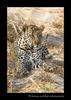 male_leopard
