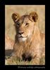 male_lion_2010