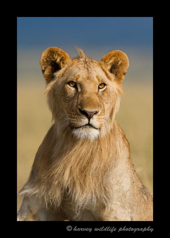Portrait of a juvenile male lion in the Masai Mara, Kenya
