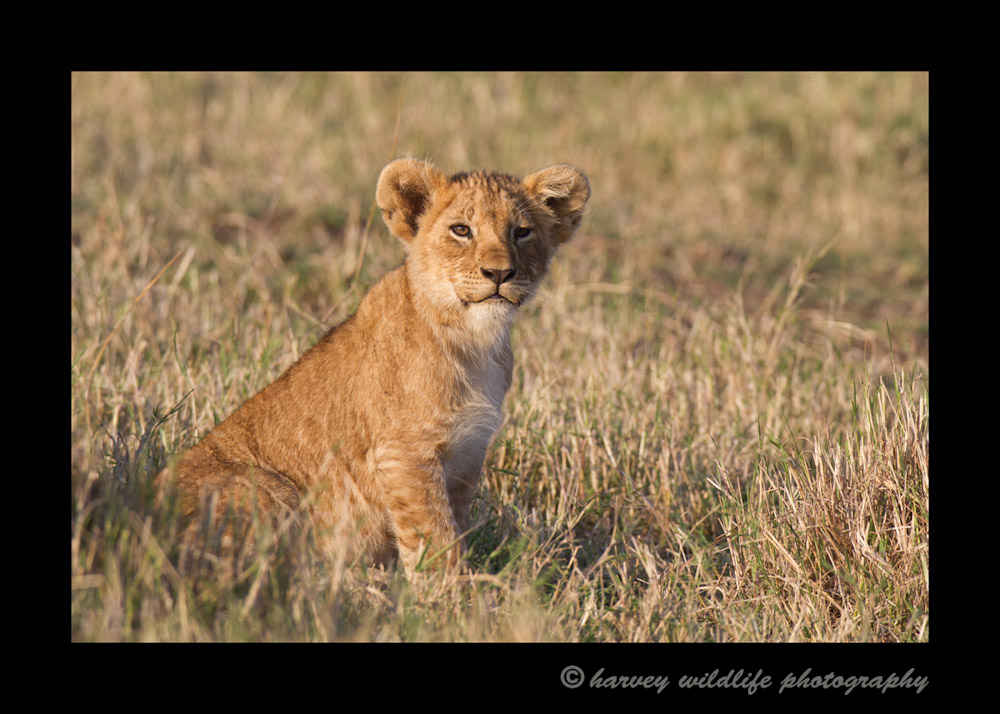 One of the cubs from the famous Marsh pride in the Masai Mara in Kenya.