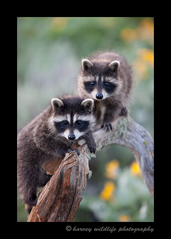 These raccons are wildlife models.