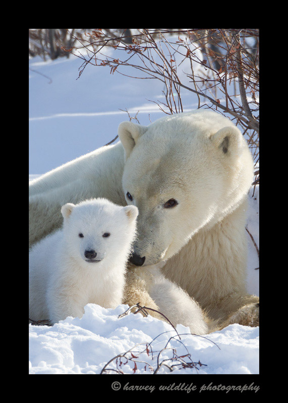 Picture of a polar bear mother and cub in Wapusk National Park.